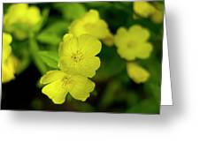 Evening Primrose Greeting Card