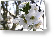 Evening Show - Cherry Blossoms Greeting Card
