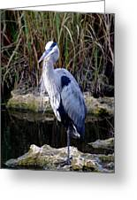 Everglades Heron Greeting Card
