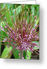 Evolving Allium Greeting Card
