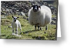 Ewe And Lamb No2 Greeting Card
