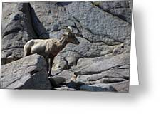 Ewe Bighorn Sheep Greeting Card