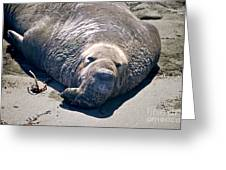 Exhausted Elephant Seal Greeting Card