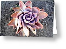Exotic Succulent Plant - Pink Lilac Greeting Card