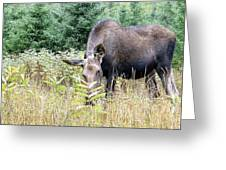 Eye-contact With The Moose Greeting Card