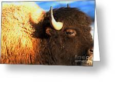 Eyes Of The Bison Spring 2018 Greeting Card