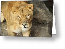 Eyes Of The Lioness Greeting Card