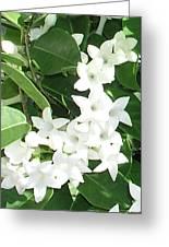 F7 Stephanotis  Flowers Greeting Card