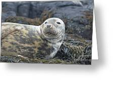 Face Of A Gray Seal Greeting Card