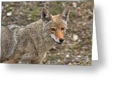 Face Of The American Coyote Greeting Card