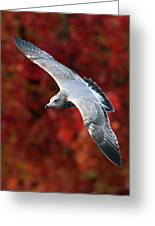 Fall Gull Greeting Card