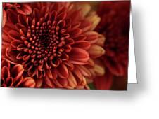 Fall Mum Macro Greeting Card