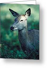 Fallow Deer Fawn Greeting Card
