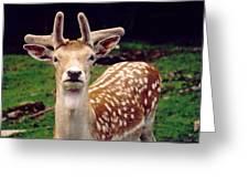 Fallow Deer Portrait Greeting Card