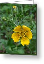 Fan-leaf Cinquefoil At Trillium Lake Greeting Card