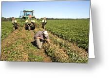 Farmer Inspects Peanut Field Greeting Card
