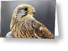 Faucon Crecelle Greeting Card