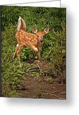 Fawn Approaching Greeting Card