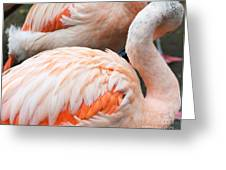 Feathers Of Flamingo Greeting Card