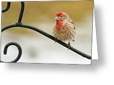 Feathers Ruffled Greeting Card