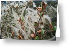 Feathery Styles Of Mountain Mahogany  Greeting Card