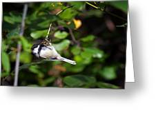 Feeding Black-capped Chickadee Greeting Card