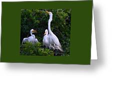 Feeding Time In The Great White Egret Rookery Greeting Card