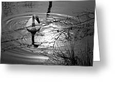 Feeding Trumpeter Swan In Black And White Greeting Card
