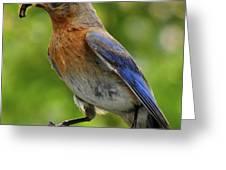 Female Bluebird Feeding Her Brood Greeting Card