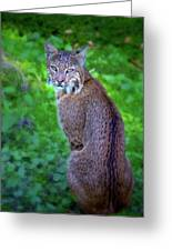 Female Bobcat Greeting Card