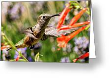 Female Broadtail Humingbird Greeting Card