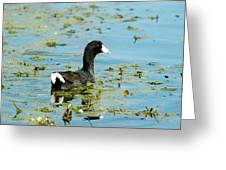 Female Coot Greeting Card