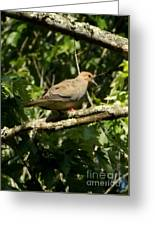 Female Dove Resting On Limb Greeting Card