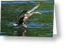 Female Duck Landing Greeting Card