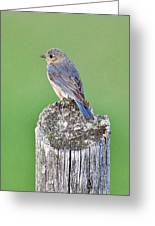 Female Eastern Bluebird 4479 Greeting Card