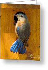 Female Eastern Bluebird 7 Greeting Card
