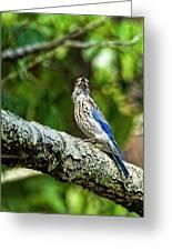 Female Eastern Bluebird Portrait Greeting Card