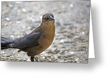 Female Grackle With Attitude Greeting Card