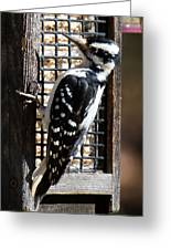 Female Hairy Woodpecker Greeting Card