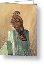 Female Kestrel Study Greeting Card