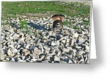 Female Killdeer Protecting Nest Greeting Card by Douglas Barnett
