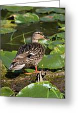 Female Mallard Among Lily Pads Greeting Card