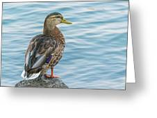 Female Mallard At The River Greeting Card