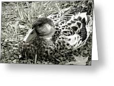 Female Mallard Duck Resting 2 Greeting Card
