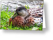 Female Mallard Duck Resting 4 Greeting Card