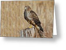 Female Northern Harrier Standing On One Leg Greeting Card