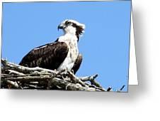 Female Osprey Greeting Card