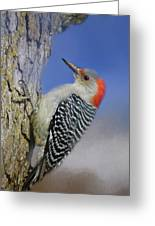 Female Red-bellied Woodpecker Greeting Card