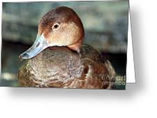 Female Redhead Duck Greeting Card
