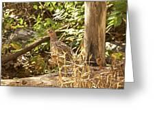 Female Ring-necked Pheasant - Phasianus Colchicus Greeting Card